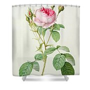 Rosa Muscosa Multiplex Shower Curtain by Pierre Joseph Redoute