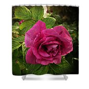 Rosa Rugosa Art Photo Shower Curtain