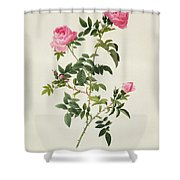 Rosa Sepium Flore Submultiplici Shower Curtain