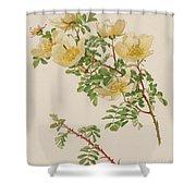 Rosa Spinosissima Var Hispida Shower Curtain