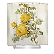 Rosa Sulfurea Shower Curtain