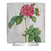 Rosa Turbinata Shower Curtain by Pierre Joseph Redoute