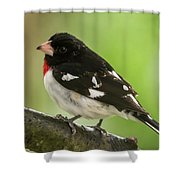Rose-breasted Grosbeak Male Perched New Jersey  Shower Curtain