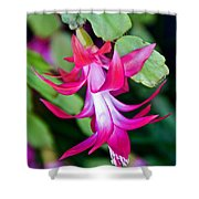 Rose-colored Christmas Cactus At Pilgrim Place In Claremont-california  Shower Curtain