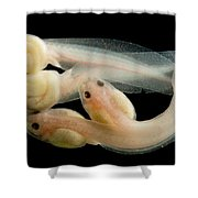 Rosy Ground Frog Tadpoles Shower Curtain