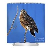 Rough-legged Hawk Shower Curtain