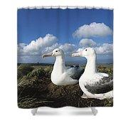 Royal Albatrosses Nesting Shower Curtain