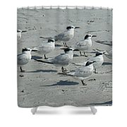 Royal Terns #3 Shower Curtain