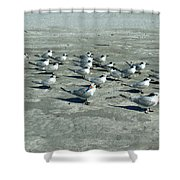 Royal Terns #4 Shower Curtain