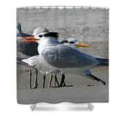 Royal Terns And Gulls Shower Curtain