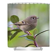 Ruby Crowned Kinglet Shower Curtain