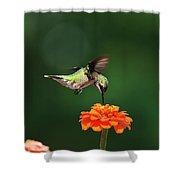 Ruby Throated Hummingbird Feeding On Orange Zinnia Flower Shower Curtain