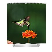Ruby Throated Hummingbird Feeding On Orange Zinnia Flower Shower Curtain by Christina Rollo