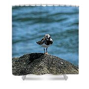 Ruddy Turnstone 2 Shower Curtain
