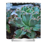 Echeveria Rosea  Shower Curtain