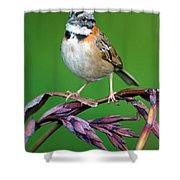 Rufous-collared Sparrow Zonotrichia Shower Curtain
