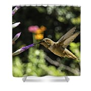 Rufous Or Allen's Shower Curtain