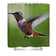 Rufus Hummingbird In Flight Shower Curtain