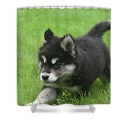 Running Alusky Puppy Dog Stretching Out His Stride Shower Curtain