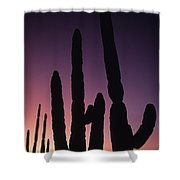 Saguaro Cactus Are Silhouetted By An Shower Curtain