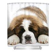 Saint Bernard Puppy Sleeping Shower Curtain