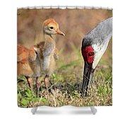 Sandhill Crane 13 Shower Curtain