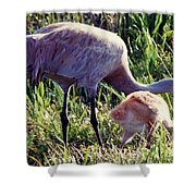 Sandhill Crane And Chick Shower Curtain