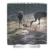 Sandhill Crane Family In Morning Sunshine Shower Curtain by Carol Groenen