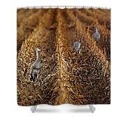 Sandhill Cranes - Cornfield Shower Curtain