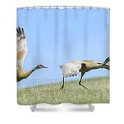 Sandhill Cranes Taking Flight Shower Curtain