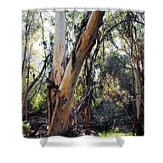 Santa Barbara Eucalyptus Forest Shower Curtain