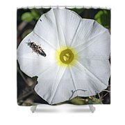 Sawfly On A Beach Morning Glory Flower Shower Curtain