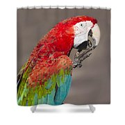 Scarlet Macaw - 2 Shower Curtain