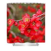 Scarlet Quince Blooms Shower Curtain