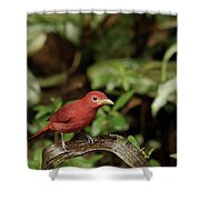 Scarlet Tanager In Costa Rica Shower Curtain