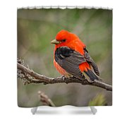 Scarlet Tanager On Branch Shower Curtain