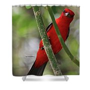 Scarlet Tanager Shower Curtain