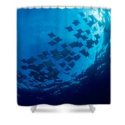 Schooling Cownose Rays Shower Curtain