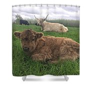 Scottish Highland Calf Shower Curtain