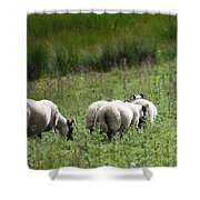 Scottish Sheep Shower Curtain