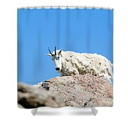 Scruffy Mountain Goat On The Mount Massive Summit Shower Curtain
