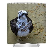 Sea Hawk Standing In Shallow Water Shower Curtain