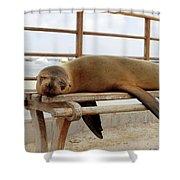sea lion on a bench in Puerto Ayora, Santa Cruz Island, Galapagos Shower Curtain