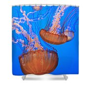 Sea Nettles Chrysaora Fuscescens In Shower Curtain by Stuart Westmorland