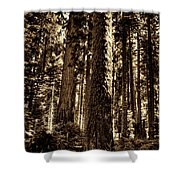 Sequoia Grove Along Crescent Meadow Loop Shower Curtain
