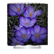 Seven Purple Crocuses Shower Curtain