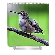 Shades Of Green - Ruby-throated Hummingbird Shower Curtain