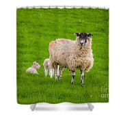 Sheep And Lambs Shower Curtain