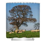 Sheep In Somerset Shower Curtain