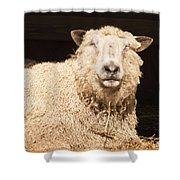 Sheep In Stable 2 Shower Curtain